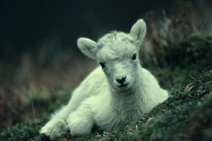 the worthy lamb